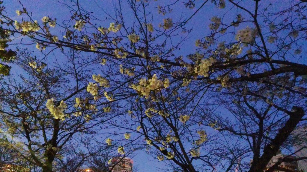 元安川沿いの桜