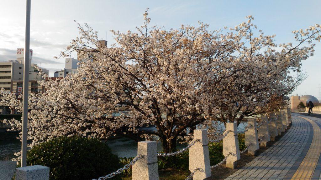 相生橋の桜