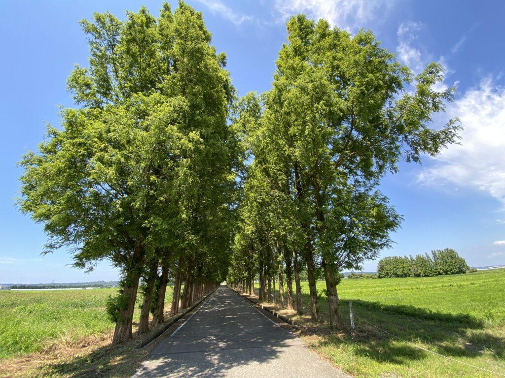 河北潟メタセコイア並木 入口