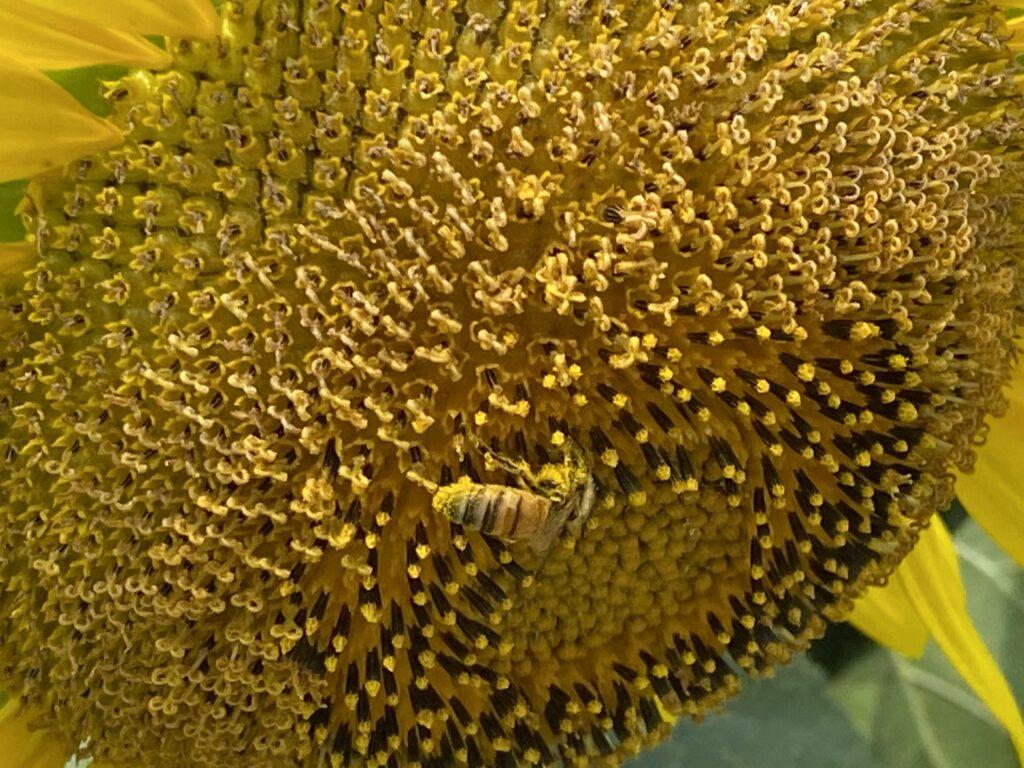 ひまわりとハチ